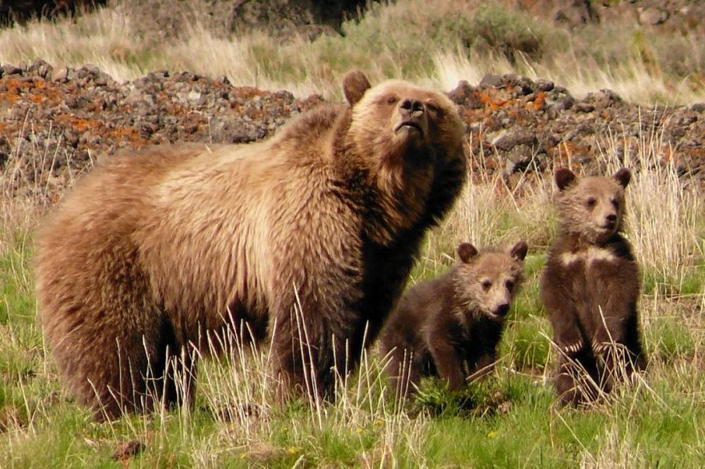 Montenegro brown bear