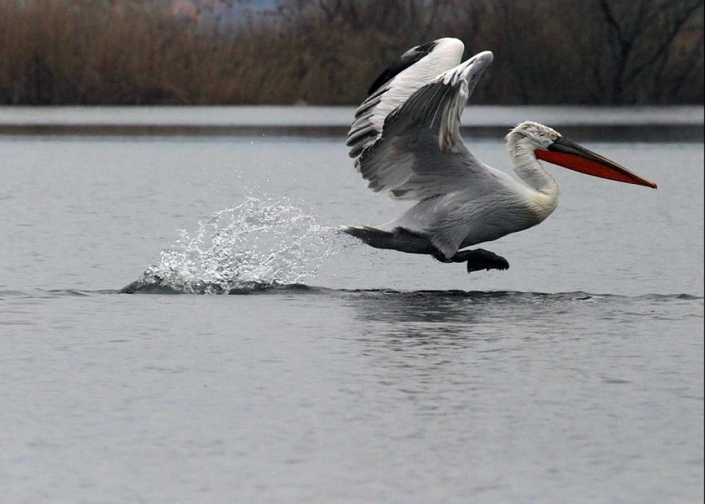 Pelican, Montenegro Skadar lake