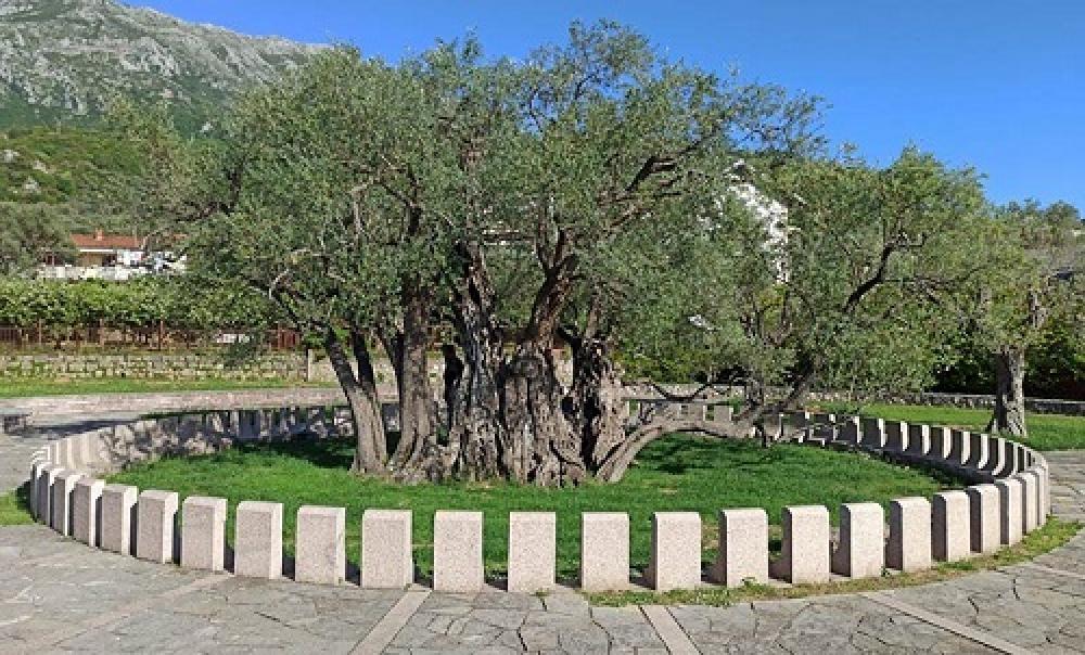 Flora Montenegro, Old olive tree